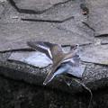 写真: イソシギの羽ばたき