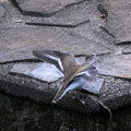 Photos: イソシギの羽ばたき