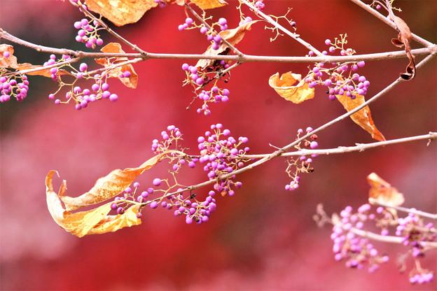 秋色、ムラサキシキブ