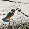 Photos: カワセミ若ザリガニをゲット