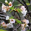 狂い咲き、ソメイヨシノ