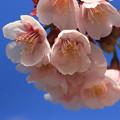 河津桜の咲き始めです