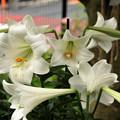 Photos: 咲いたよ、カサブランカ