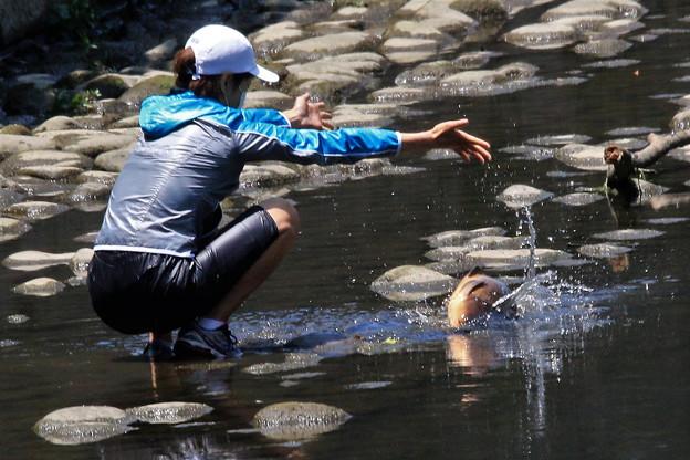 浅瀬に乗り上げ苦しむ鯉を救出、深瀬に戻す