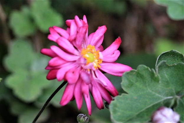 八重咲き秋明菊
