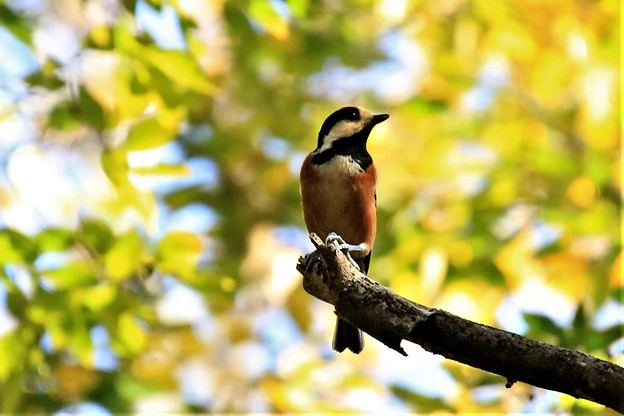 秋色の中のヤマガラ