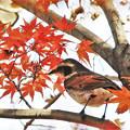 Photos: 紅葉の中のツグミ