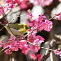 Photos: 春を満喫するメジロ