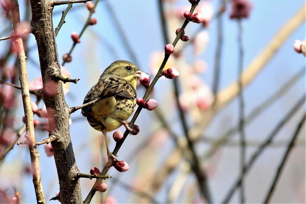 Photos: 梅の蕾にアオジ