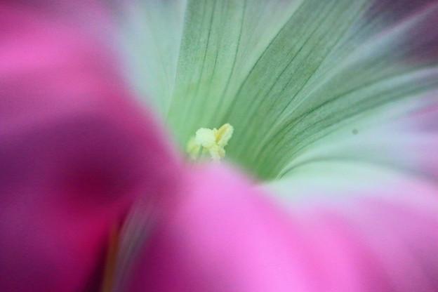 Photos: *朝顔の花*
