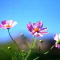 *秋桜の花*