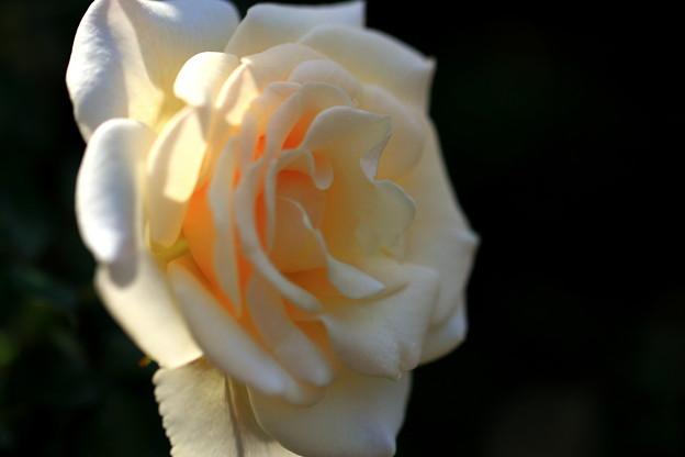 *秋の薔薇*