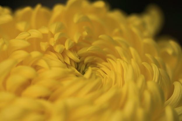 *菊の花*