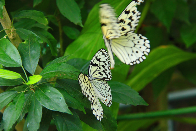 Photos: *昆虫館の蝶*