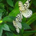 *昆虫館の蝶*