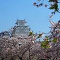 写真: リベンジ 姫路城&サクラ