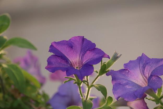 写真: 明日も咲こう