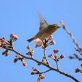 写真: 共に春を~♪