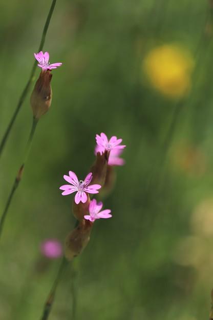 写真: 野でも咲く
