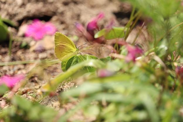 Photos: 花が苦手なチョウ