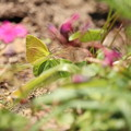 写真: 花が苦手なチョウ