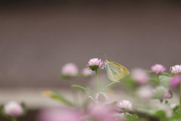 写真: チョウのように