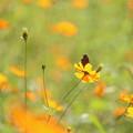 写真: 黄花の君