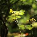 写真: つわの花が咲きました