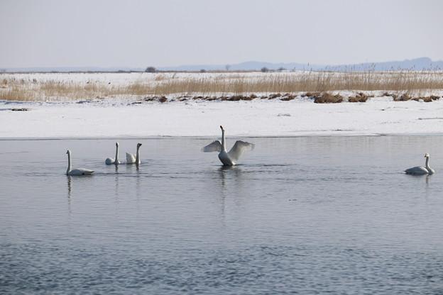 Photos: ハクチョウの湖