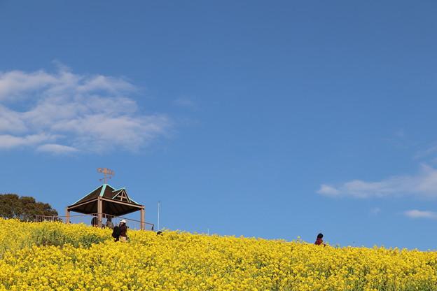 Photos: 菜の花 開花中