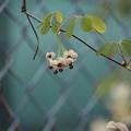 Photos: アケビの花咲く頃