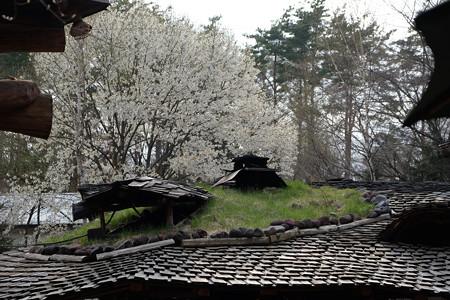 カナディアンファーム_屋根越しの桜