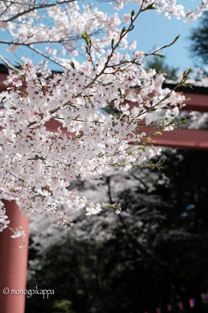 写真: 02桜満開-3781
