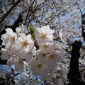写真: 15_桜満開-3815