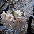 15_桜満開-3815