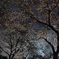 夜桜-7437