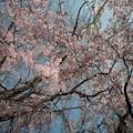 しだれ桜-7472