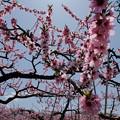 写真: 桃園-7530