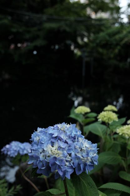 写真: 愛宕神社_あじさい-4148