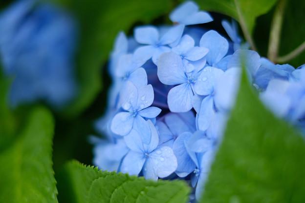 紫陽花-7980