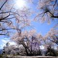 新府城_桜満開-8913
