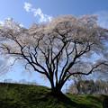 鉢形城 氏邦桜-1129