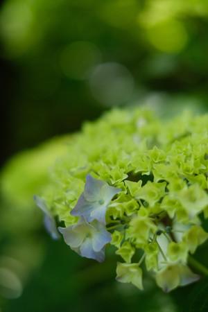太田金山城の紫陽花-1301
