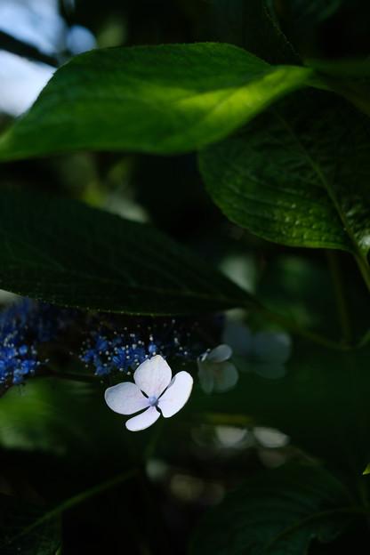 紫陽花-1327