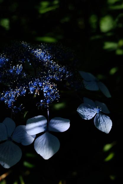 紫陽花-1335
