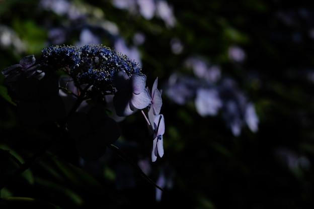 紫陽花-1334