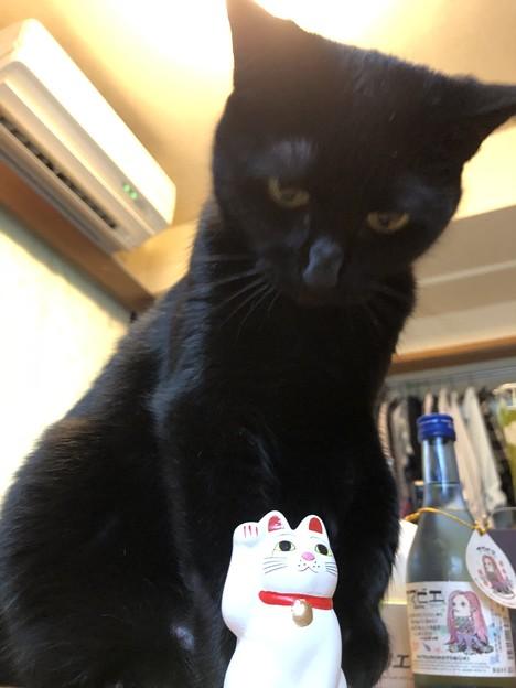 招き猫 vs ポンちゃん