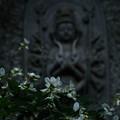 大悲願寺の白萩-1541