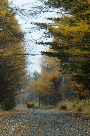 八ヶ岳高原 鹿が出た-1719