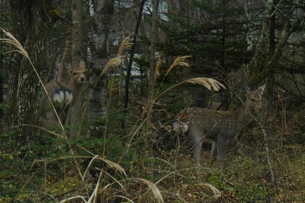 八ヶ岳高原 鹿が出た-1727